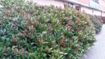 Vintergrön buske, Vinterbär Rubella