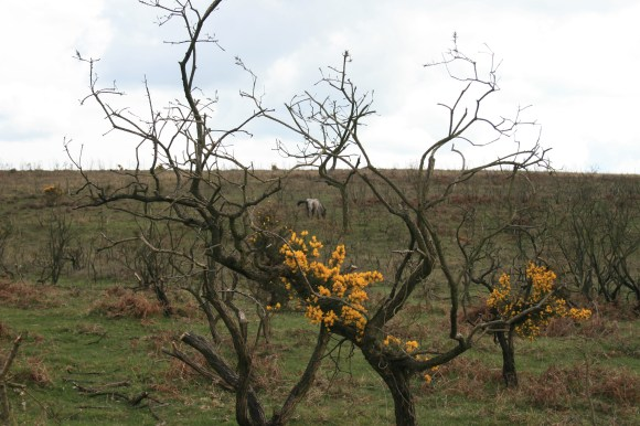 Scorched gorse
