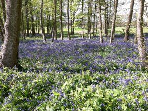 15. Bluebells at Chart Hills