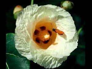 03-portia-flower300