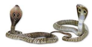 snake_bite_pannaiyar