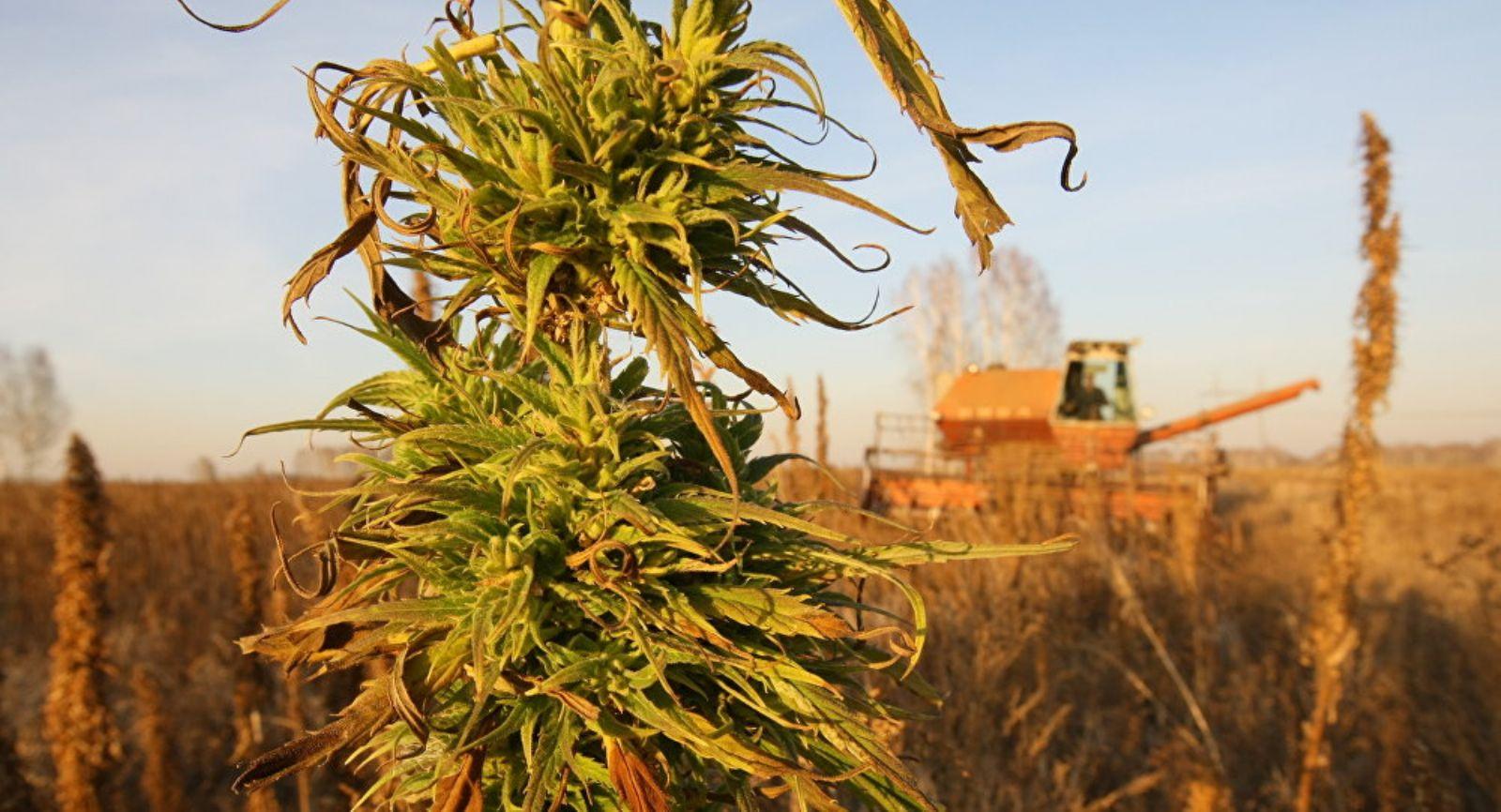 اسرائيل توافق على تصدير الماريجوانا