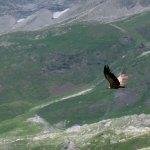 Buiitre Leonado en Pirineos