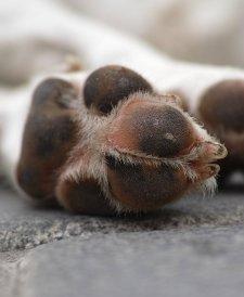 pas leži