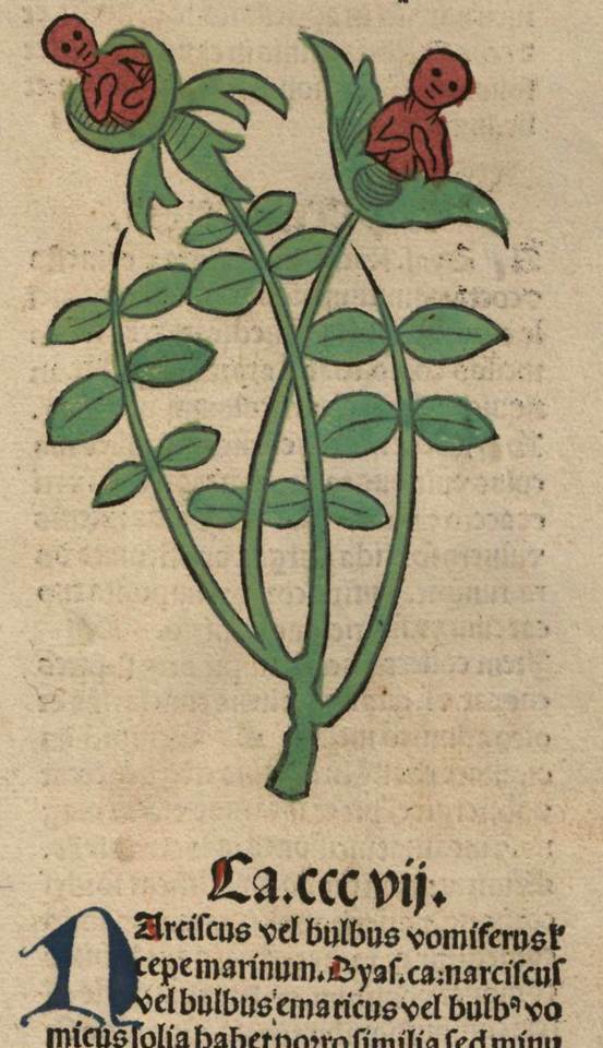 Narciscus. Meydenbach, Ortus Sanitatis (1491).