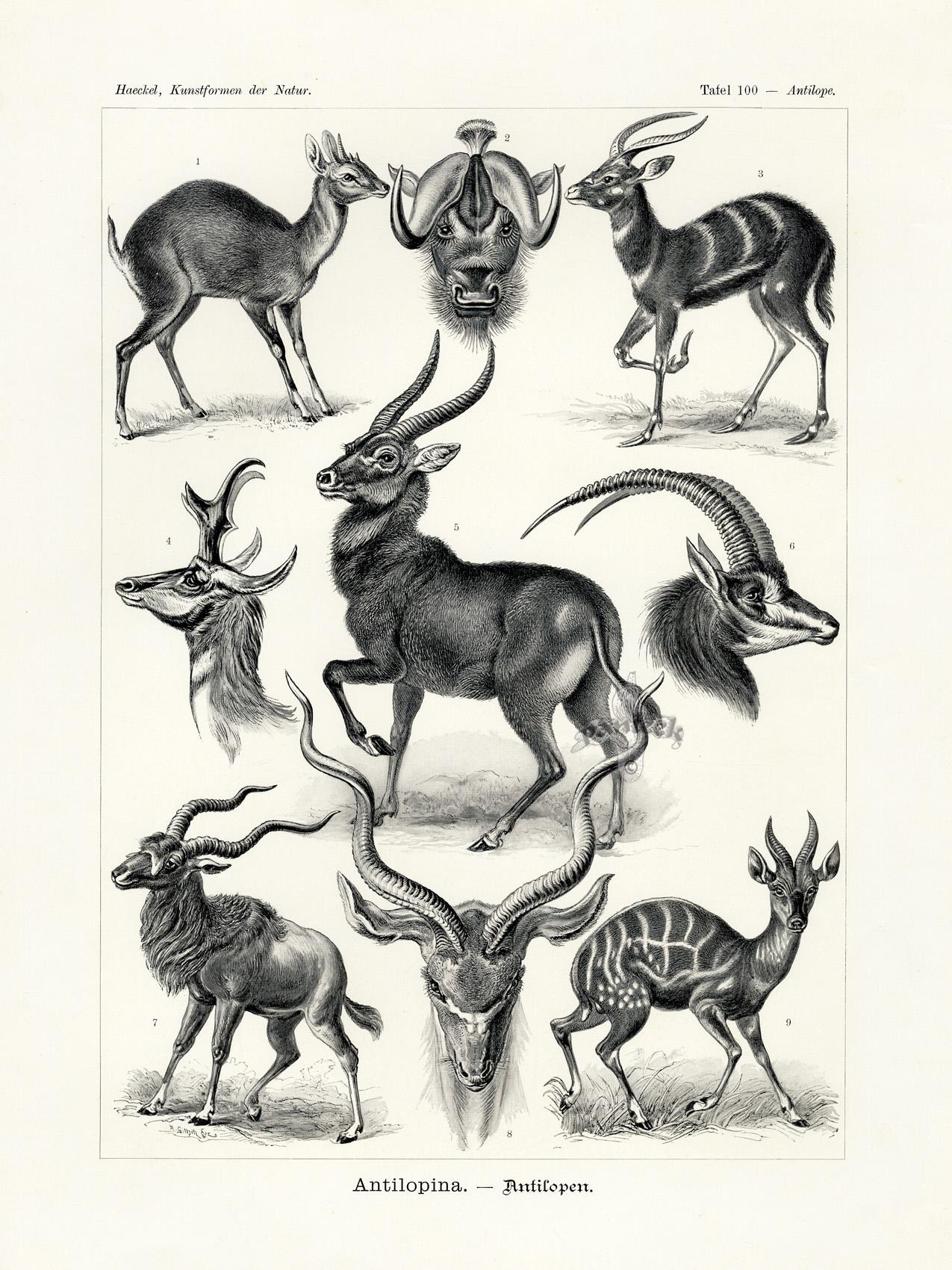 Antilopina, Antelope from Haeckel Antique Prints 1899
