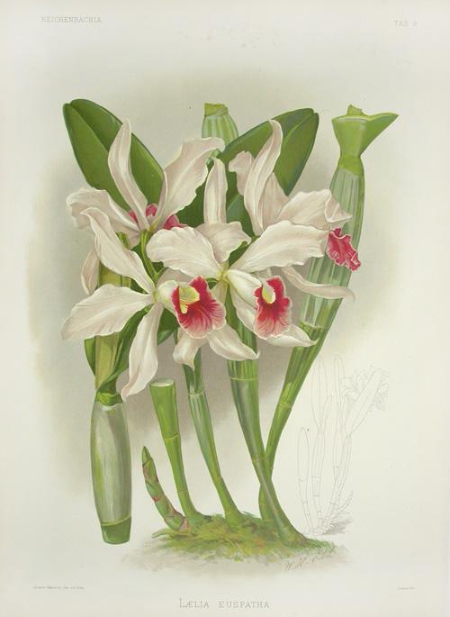 Sanders Reichenbachia Orchid Prints 1888