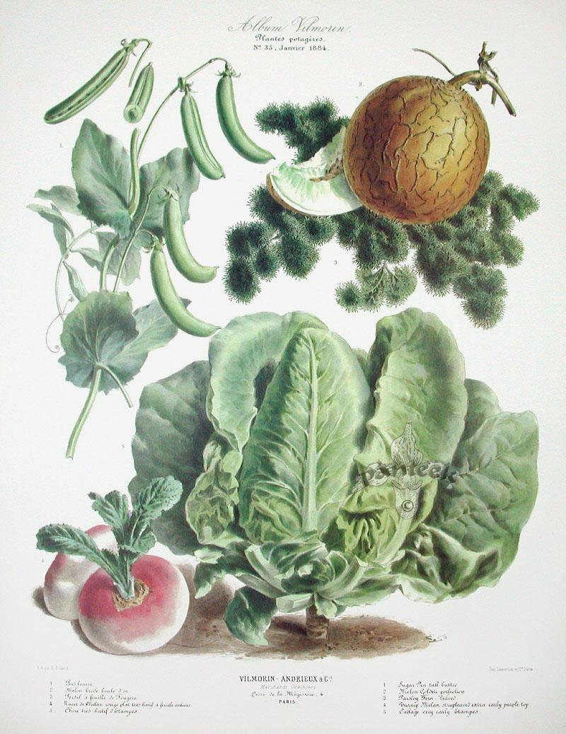 Vilmorin Fruit  Vegetable Prints
