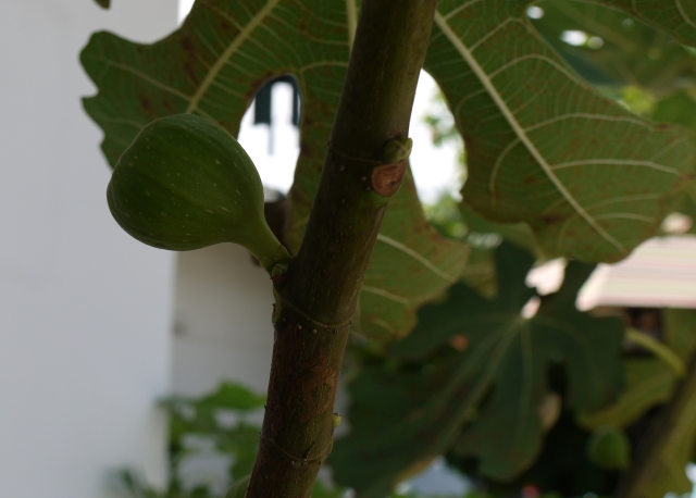 Organic Fig grown at the beach