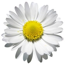 cropped-daisy.jpg