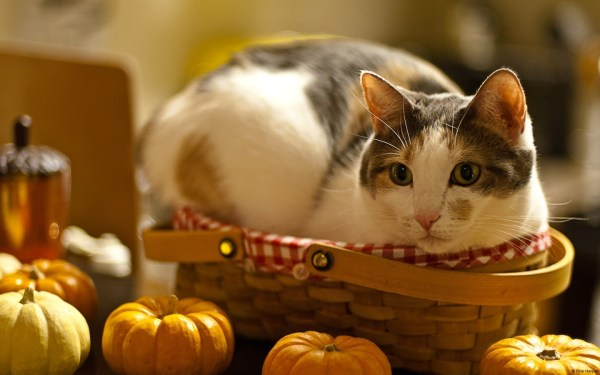 20 Thanksgiving Desktop Backgrounds Cats Pictures And Ideas On