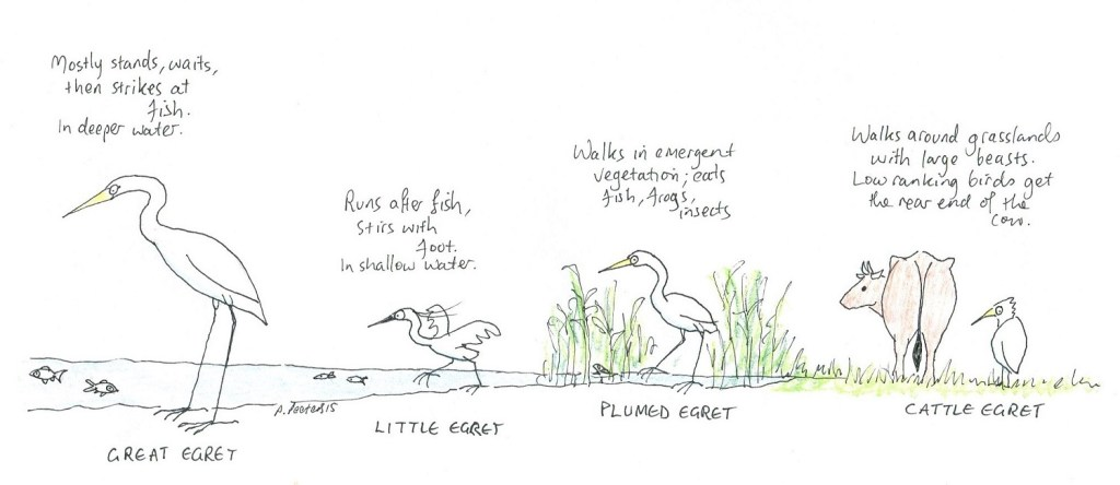 Feeding habits of four egret species.