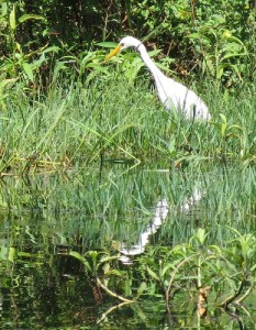 Plumed egret hunting in emergent vegetation.