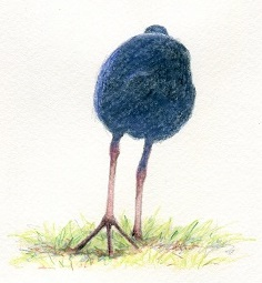 'Purple swamphen walking' by Paula Peeters. Watercolour pencil on paper.