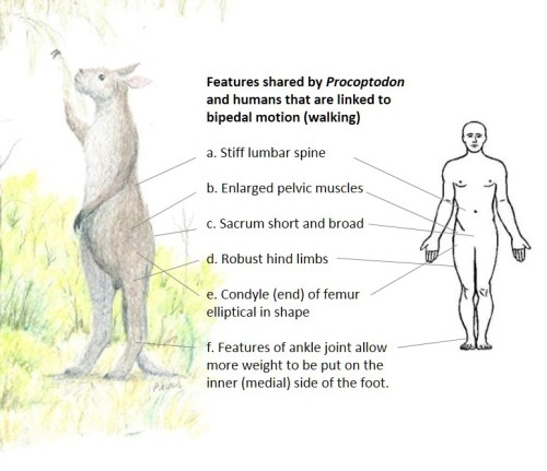 Features linked to bipedal motion that are shared between the giant short-faced kangaroo, Procoptodon goliah, and humans.