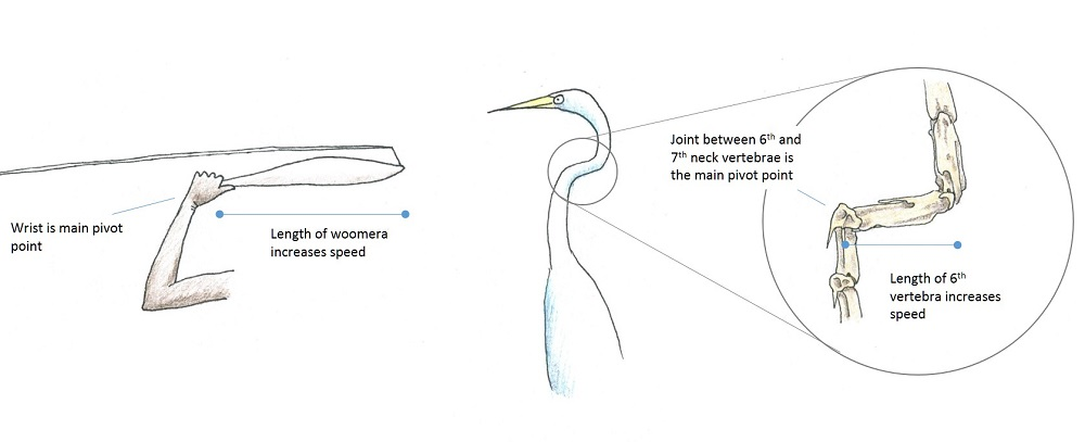 Some basic mechanics associated with the action of a woomera and the neck vertebrae of a heron. Drawing of heron neck vertebrae is based on van Grouw (2013) The Unfeathered Bird.