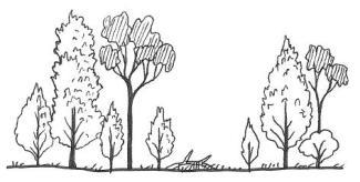mature callitris