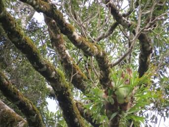 Strangler fig limbs