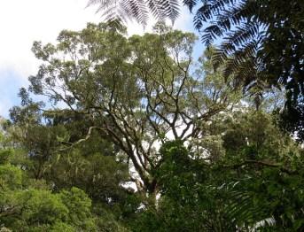 strangler fig canopy