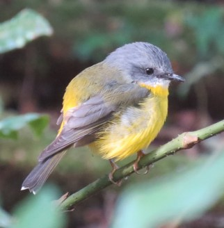 yellow robin Apr 14