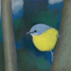 Eastern yellow robin (Yellow robin lights up the gloom) – Greeting card