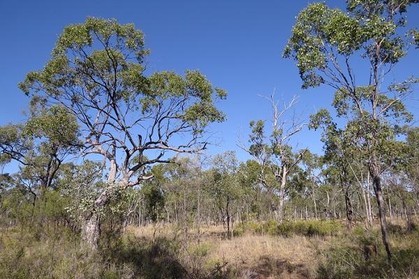 poplar box woodland