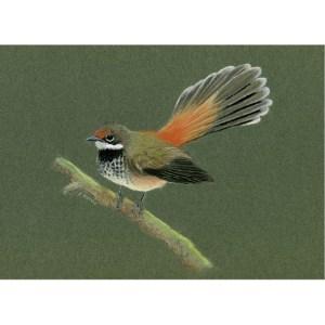 Rufous fantail card