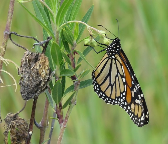 monarch on cottonbush