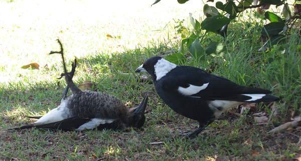 Magpies playing at Woody Head, New South Wales.