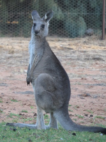 Young kangaroo, that lives in the garden.