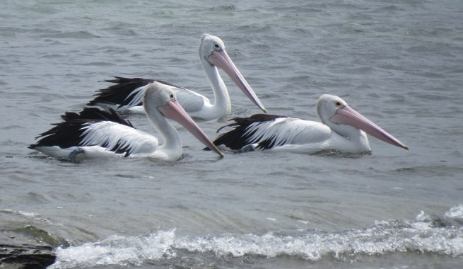 Pelicans cruising at Woody Head