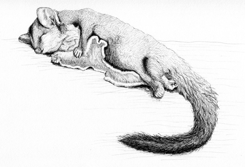 squirrel glider small