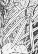 Podocarpus drawing