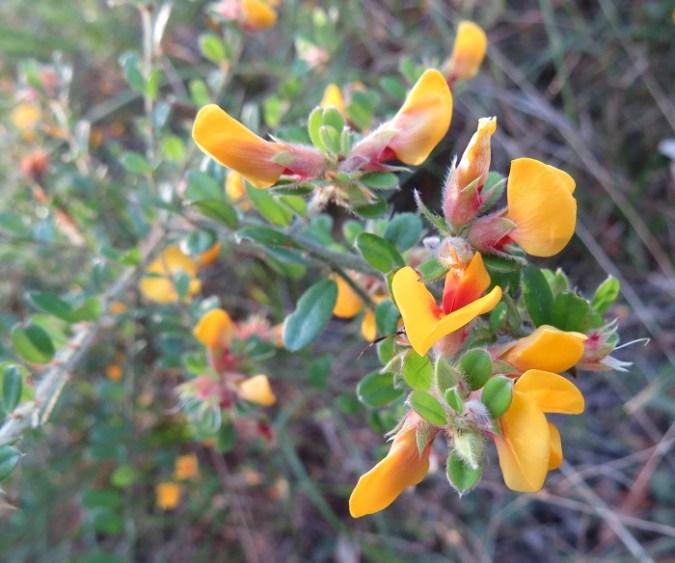 pea-flower