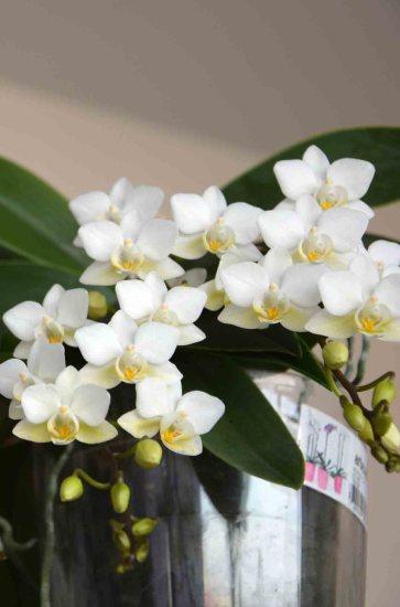 Phalaenopsis at the studio #phalaenopsis #botanical #plantsatwork