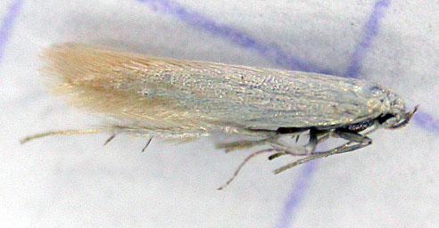 Psamathocrita argentella Guyonnet Antoine Yves 17 08062016 {JPEG}