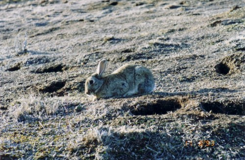 vad-rabbit