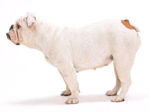 Esterilización, castración perros y gatos
