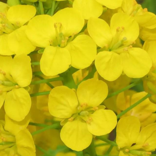 groenten die bloeien pastinaak