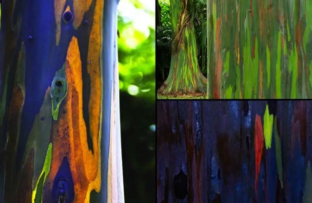 regenboog eucalyptus10