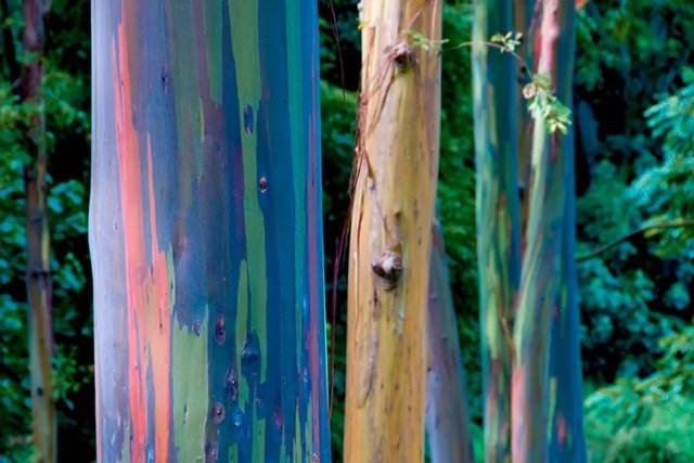 regenboog eucalyptus13