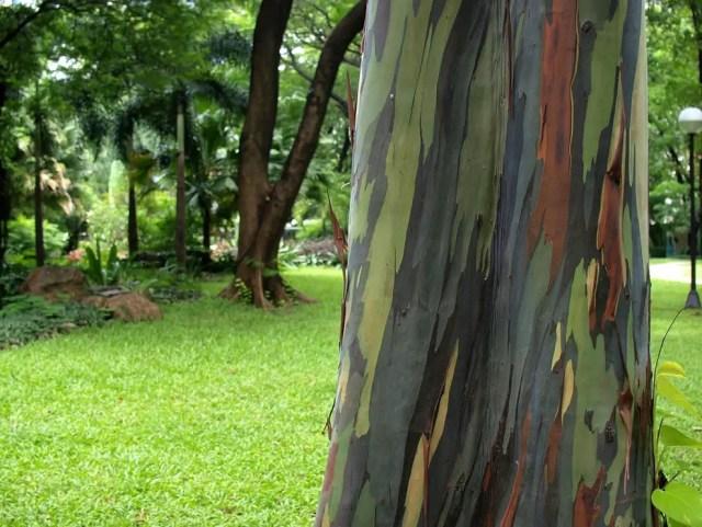 regenboog eucalyptus14