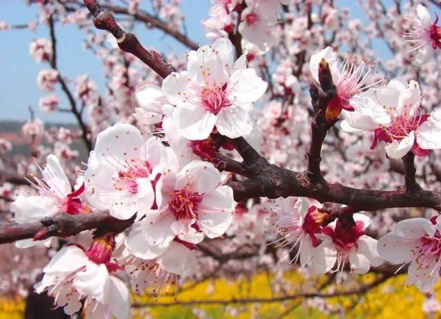 abrikozen-bloesem3