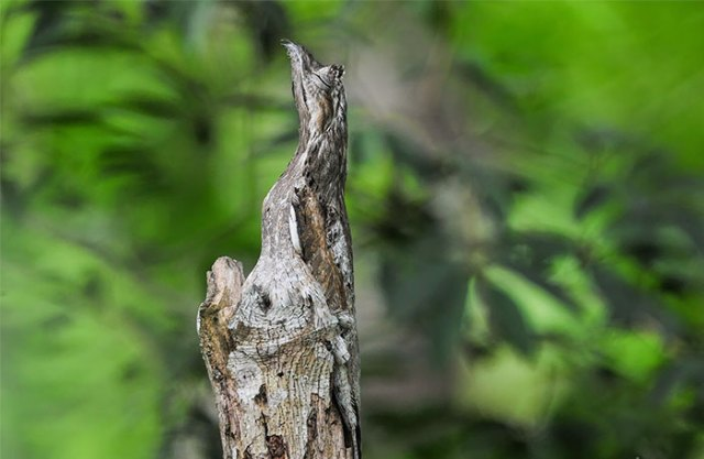 Camouflagedieren 12 - Long-Tailed Potoo