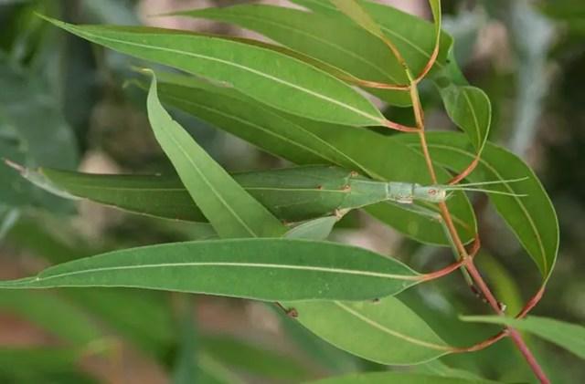 Camouflagedieren 8 - Tropidoderus Childrenii (Children's Stick Instect)
