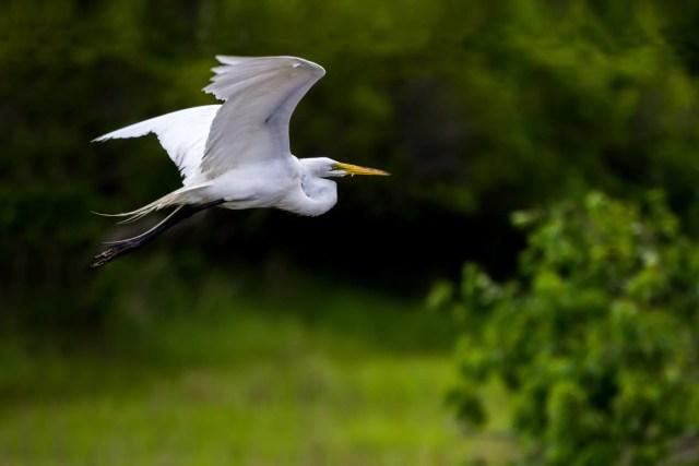 great-egret-1501508301yFg