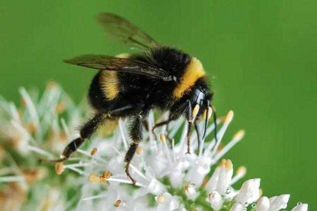 bijen en hommels
