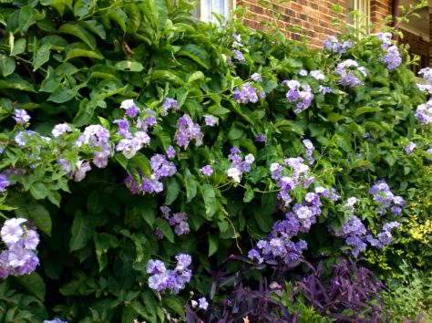 Giant Potato Creeper - Solanum wendlandii roars over this grow cable