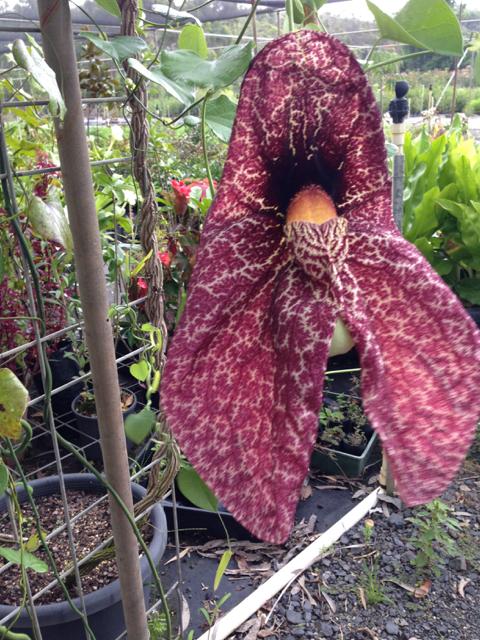 Aristolochia gigantea - Giant Duchman's Pipe