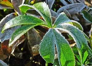 crop covered by frost